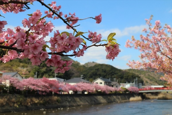 .jpg - 花見 河津桜の見ごろと行き方は?駐車場はどこ?